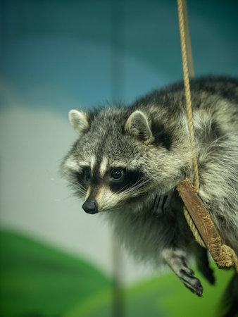 Portrait of a raccoon in zoo