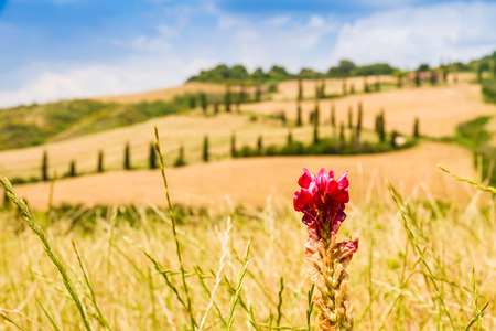 red flower on a field in tuscany with a slighty defocused winding road in the background in crete senesi Tuscany, Italy photo