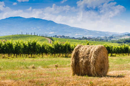 san quirico: haycock vineyard and cypresses in sunny tuscan countryside, Italy Stock Photo