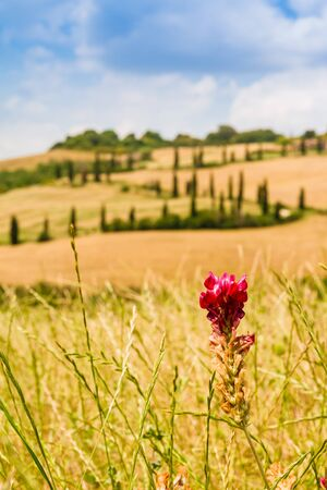 san quirico: red flower on a field in tuscany with a slighty defocused winding road in the background in crete senesi Tuscany, Italy