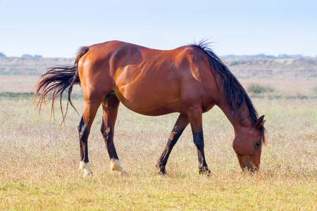 Alberese (Gr), Italy, a horse grazing in the Maremma Regional Park