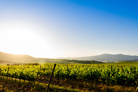 Vineyard and country hills at sunrise near Montalcino in Tuscany, Italy