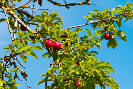 A mature plum on a tree in summer tuscany