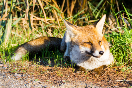 Alberese (Gr), Italy, fox close up in the maremma country in Tuscany, Italy Banco de Imagens