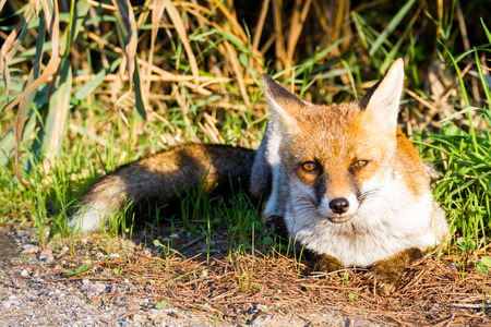 Alberese (Gr), Italy, fox close up in the maremma country in Tuscany, Italy Stockfoto