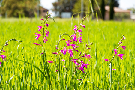 Colorful purple flowers in a grass under the spring sunlight in Italy