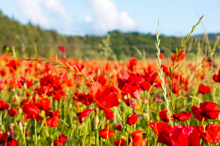 Poppy flowers in the tuscan countryside at sunset in Italy