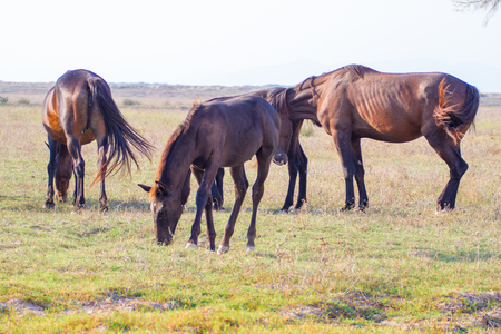 Alberese (Gr), Italy, horses grazing in the maremma country in Tuscany, Italy