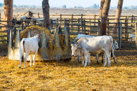 Alberese (Gr), Italy, some cows in the Maremma country, Tuscany