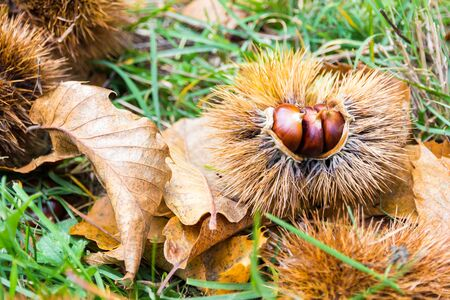 Chestnuts in the burr on the ground in the Mediterranean scrub in Tuscany, Italy