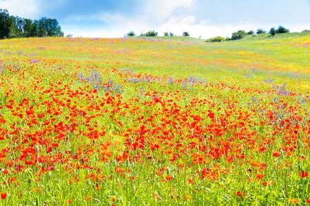 Poppy flowers in the tuscan countryside in summer in Italy