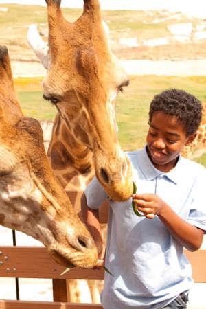 Junge, der Giraffen im Zoo füttert.
