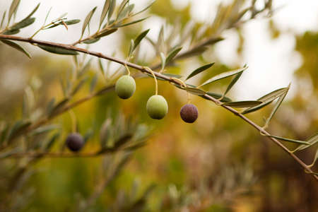 environmental issues: Green olive branch. Stock Photo
