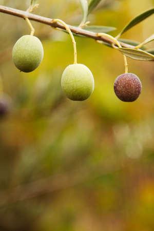 Green olive branch. Banco de Imagens