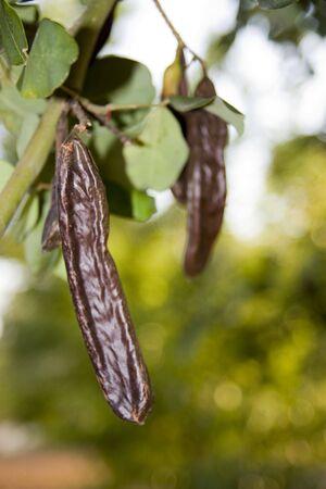 carob: Photo of a carob on the tree