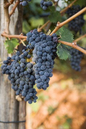 Photo of a fresh grape for wine Stock Photo