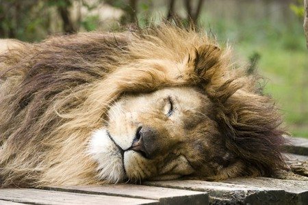 Photo of a great lion resting in the park Stock Photo - 7521417