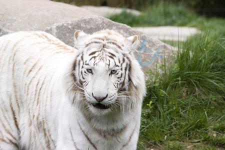 Photo of a rare wild white tiger Stock Photo - 7521389