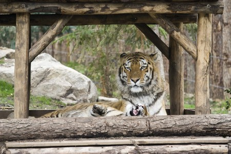 Photo of two big wild tigers in the park Stock Photo - 7521415