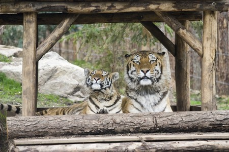 Photo of two big wild tigers in the park Stock Photo - 7521434