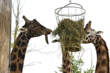subtropics: Foto di due giraffa selvatici nel parco