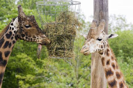 subtropics: Foto di una giraffa selvatica alta nel parco