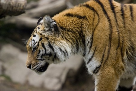 Close up photo of a big wild tiger Stock Photo - 7534034