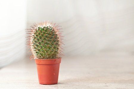 �spiked: Planta de cactus punzantes ex�ticos poco para decoraci�n interior