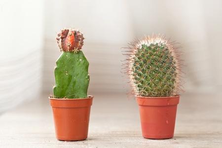�spiked: Poco de plantas ex�ticas de cactus pinchos para la decoraci�n de interiores