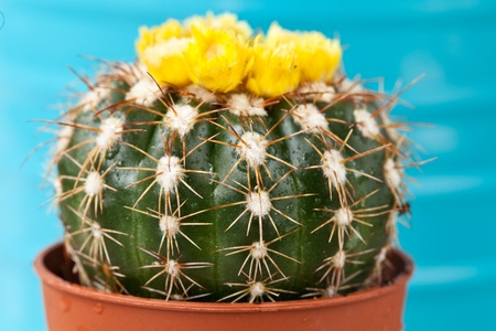 Little exotic spiked cactus plant for interior decoration photo
