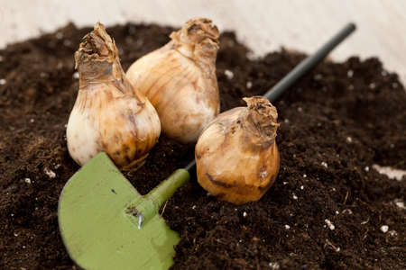planted: Fresh flower bulbs ready to be planted in a soil