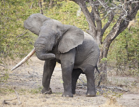 Wild elephant in the bush in Africa, Zambia