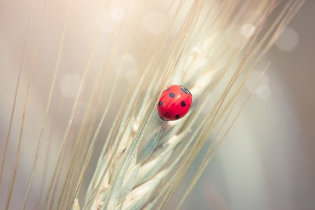 Cute ladybug on a spike in a wheat field Stock Photo - 14049789