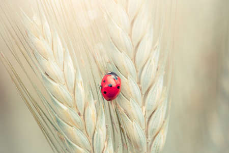 Cute ladybug on a spike in a wheat field Stock Photo - 14049823