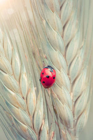 Cute ladybug on a spike in a wheat field photo