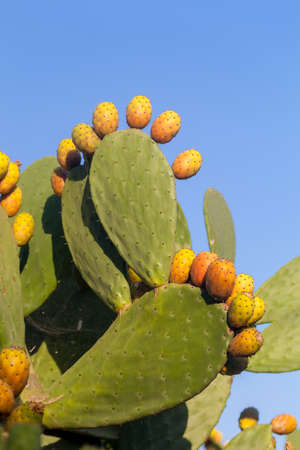 Fresh and colorful prickly pear fruits from south of italy  Stock Photo
