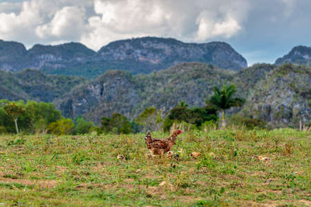 peacefull: wild chicken in the Vinales valley, Cuba Stock Photo