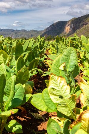 peacefull: Tobacco plantation in the Vinales valley, north of Cuba