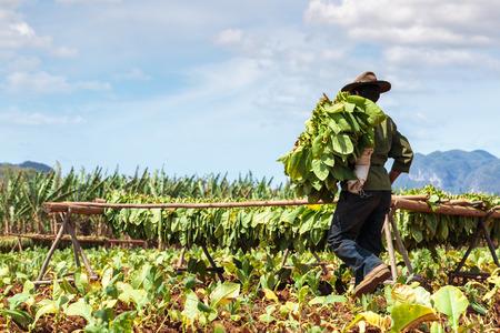 Plantación de tabaco en el valle de Viñales, al norte de Cuba Foto de archivo - 45702958