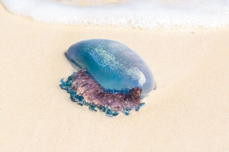 jelly fish: Tropical Jelly fish on a white sand beach in Cuba
