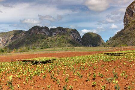 tobacco leaf: Tobacco plantation in the Vinales valley, north of Cuba