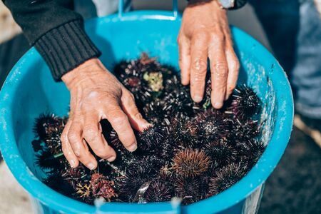 blue fish: Fresh sea urchins from south of Italy, Puglia region Stock Photo