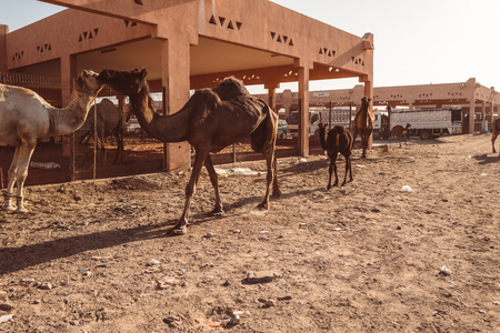 Local camel market in Al Ain, Emirates Foto de archivo