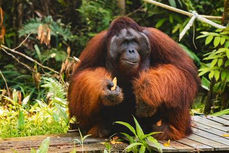 Orangutans in the Semenggoh Nature Reserve