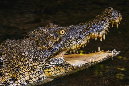 Crocodile in the Semenggoh Nature Reserve Banco de Imagens