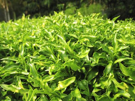 watercress: Watercress Plant Stock Photo