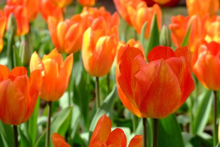 captivating: tulips Stock Photo
