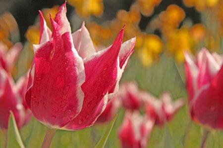 Some pink tulips in a field after the rain Stock Photo - 4541660