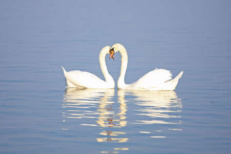 A loving swan couple is dancing on the water Stock Photo - 5750125