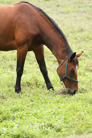 gait:  A beautiful brown horse grazes on the field